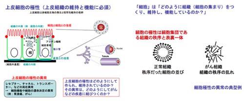 PAR-細胞極性病:がん-分子細胞...